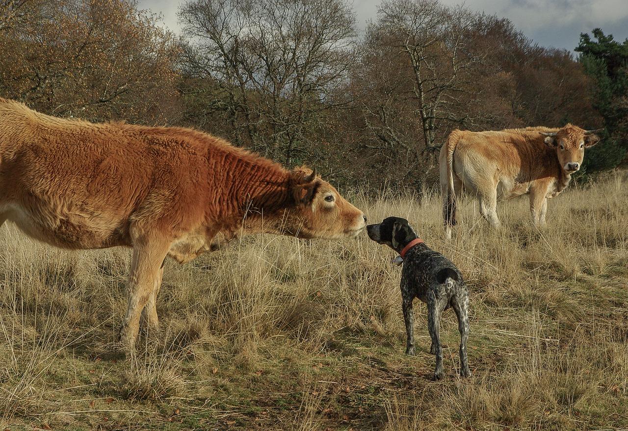 meeting, hunting dog, herd