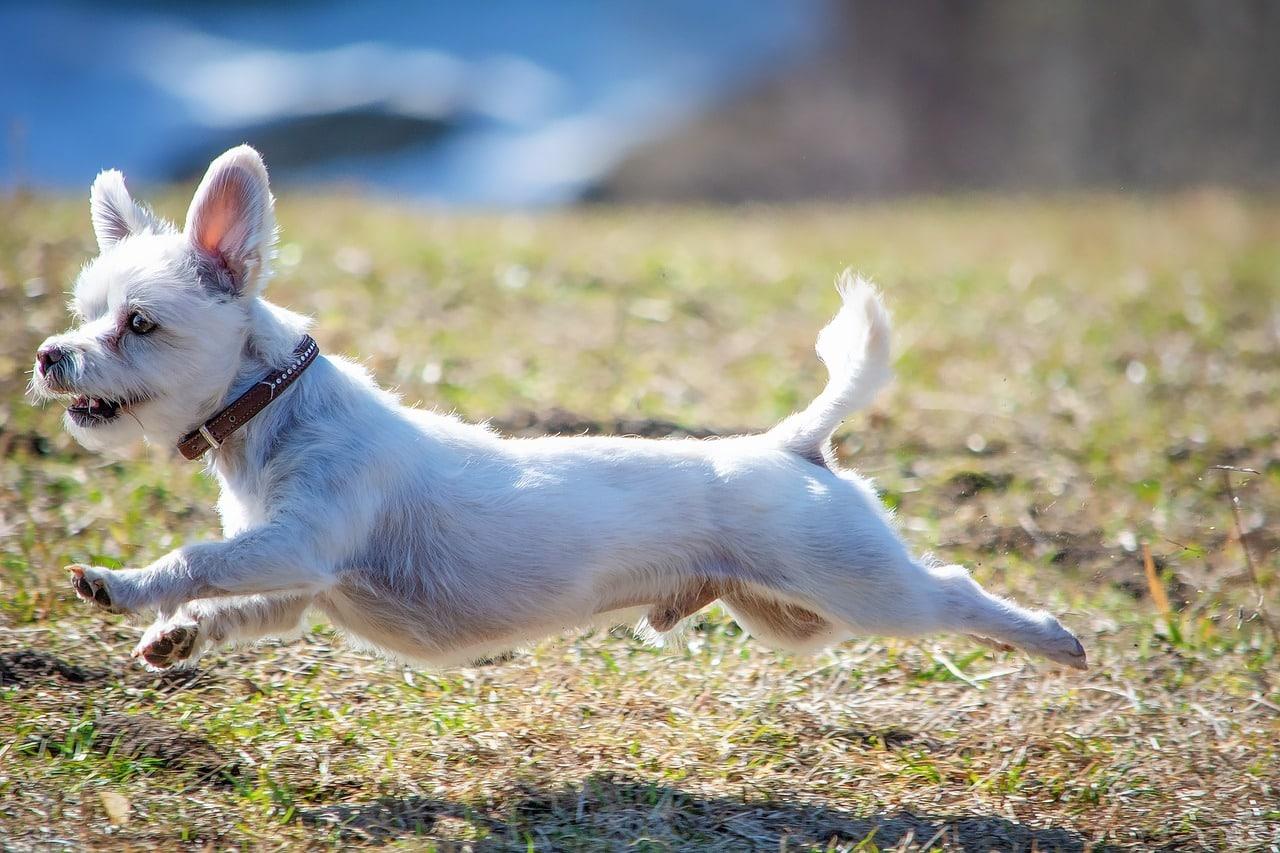 dog, white, race